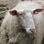 Telepathische Tierkommunikation mit Schafen